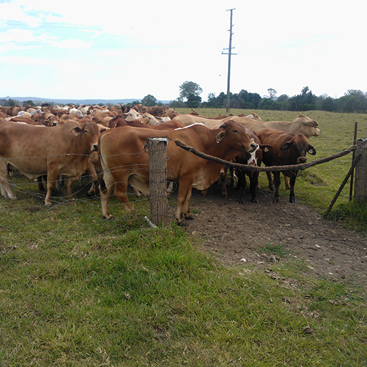 A herd of beef cattle behind a fence