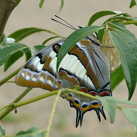 Image of a Tailed Emperor butterfly