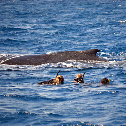 USC students swimming with a humpback whale off Tonga.