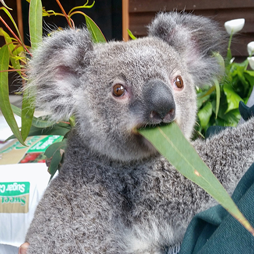A koala enjoying a dwarf gum tree leaf.
