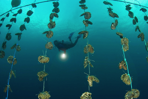 Scuba diver collecting pearls along string lines