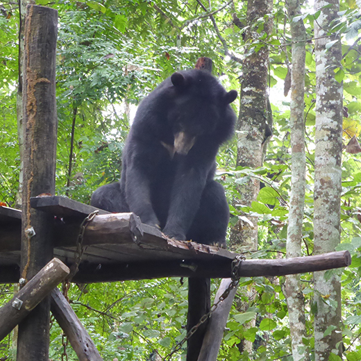 A sun bear at the Free the Bears sanctuary in Kuang Si, Laos.