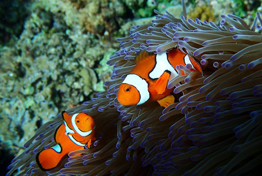 Clownfish - Thane Survey