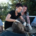 Research sheds light on mite causing wombat mange