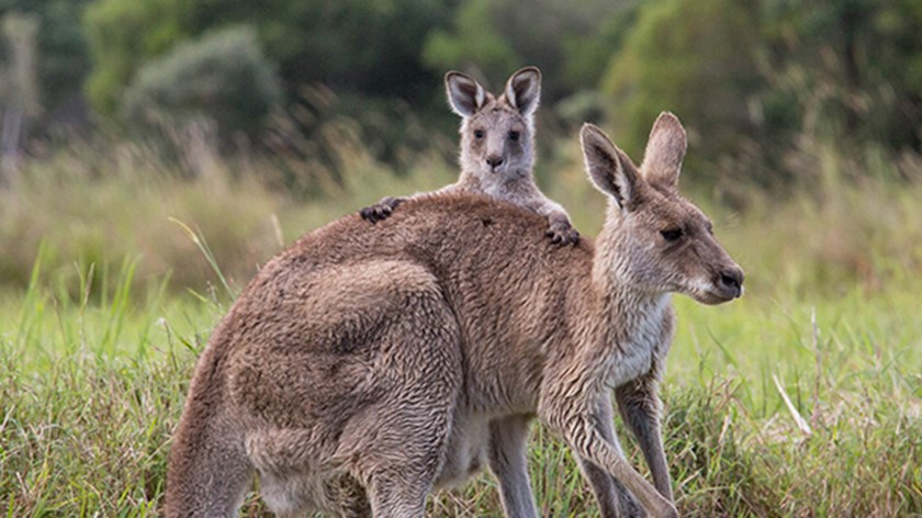 promo code 070f8 562cf USC and Council join forces to protect roos | University of ...