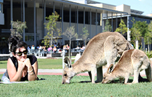 Kangaroos graze near a student on the lawn of the USC campus