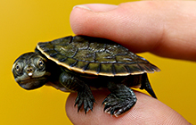 Cairns Post photographer Marc McCormack's image of a newly hatched Krefft's turtle