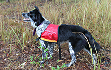 Maya in her detection dog jacket