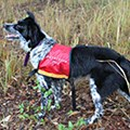USC hires clever canine for koala ecology research