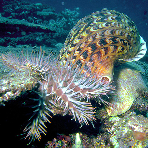 Giant triton eats crown-of-thorns starfish photo by K Goodbun, AIMS